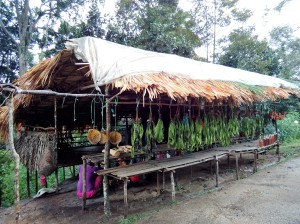 Rows of petai plucked from the jungle, better than the ones obtained near the fringes of the jungle. (@ all rights reserved)