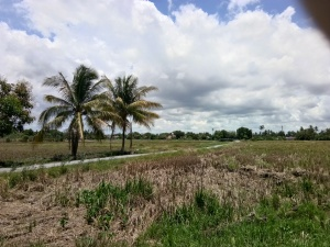 Paddy Fields - Harvested